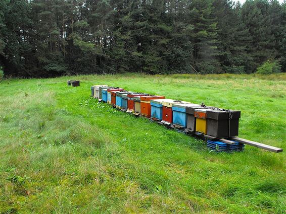 Bijen op de bloeiende heide