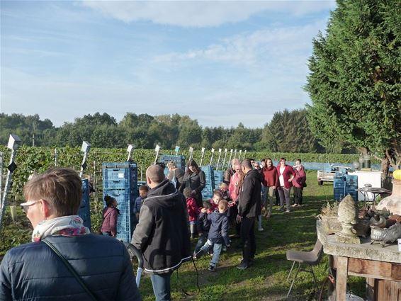 Eerste wijndruiven geoogst
