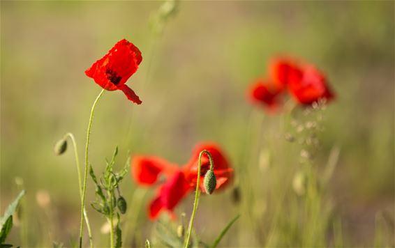 Ook klaprozen volop in de bloei