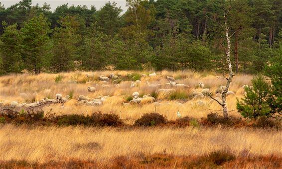 Kudde schapen gearriveerd op Blekerheide