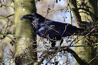 Raven in het Hageven