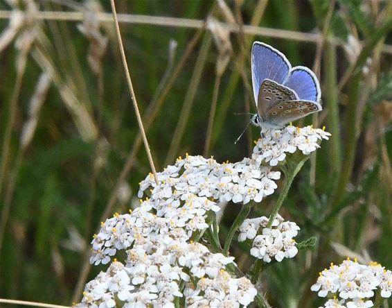 Vlinders tussen de veldbloemen